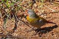 Green-winged Pytilia (Pytilia melba) male eating winged termites ... (32809778443).jpg
