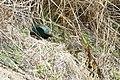 Green Pheasant (33636918522).jpg
