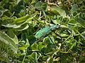 Green Tiger Beetle (26287858623).jpg