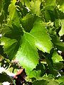 Grenache blanc leaf.jpg