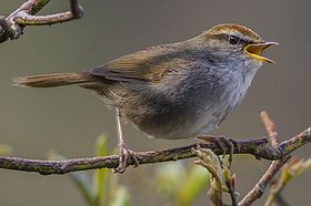 Grey-sided Bush Warbler.jpg