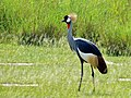 Grey Crowned Crane (Balearica regulorum) (18234733565).jpg