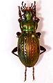 Ground Beetle (Eucarabus ulrichii fastuosus) male (8554332839).jpg