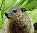 Groundhog Juvenile.jpg