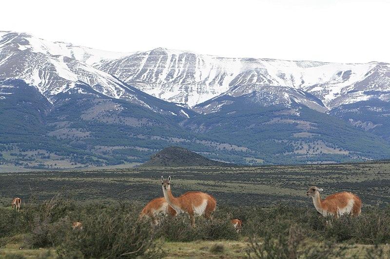 File:Guanacos, Parque Nacional Torres del Paine, Chile2.jpg