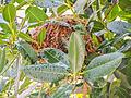Guanandi com ninho- Calophyllum brasiliensis - Jacareuba - PaloMaria (14858282549).jpg