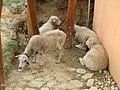 Hýsly - ovce u Johanky.JPG