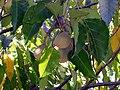 HK CandlenutTree Fruit.JPG