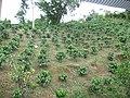 Hacienda Lealtad, former coffee plantation using slave labor in Lares, Puerto Rico 14.jpg