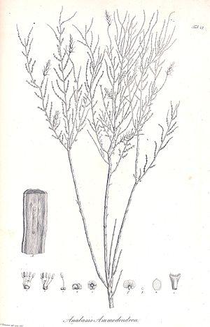 Haloxylon ammodendron - Illustration of Haloxylon ammodendron from 1829