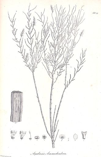Haloxylon ammodendron - Illustration of Haloxylon ammodendron from 1829
