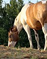 Happily Munching Horse - Feather - July 11 2015 (19480921640).jpg