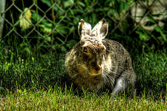 Hare - Wild hare doe in city garden