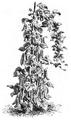 Haricot intestin Vilmorin-Andrieux 1883.png