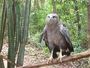 Chaco eagle - Image: Harpyhaliaetus coronatus