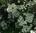 Hawthorn Blossom - Crataegus monogyna - geograph.org.uk - 181699.jpg