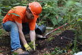Haywood Community College student taps in the soil around a spruce planting (10344310694).jpg