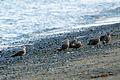 Heerman's Gulls, Dungeness NWR - 3347757604.jpg