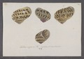 Helix aspersa - - Print - Iconographia Zoologica - Special Collections University of Amsterdam - UBAINV0274 089 01 0014.tif
