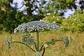 Heracleum mantegazzianum 06.JPG