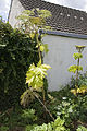 Heracleum mantegazzianum chateau-thierry 02 13072008 02.jpg