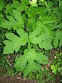 Heracleum sphondylium var. nipponicum 2.JPG