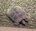 Hermann's Tortoise (Testudo hermanni) (CWPG).jpg
