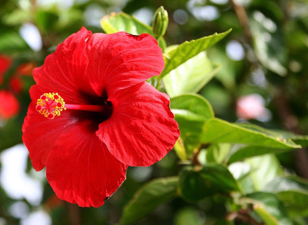 hibiscus rosasinensis  wikipedia, Beautiful flower