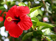 hibiscus rosa sinensis wikipedia. Black Bedroom Furniture Sets. Home Design Ideas
