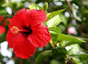 Hibiscus rosa-sinensis - Hibiscus rosa-sinensis 'Brilliant'