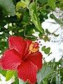 Hibiscus flowers 2.jpg