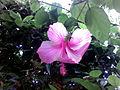 Hibiscus rosa-sinensis at Padmanabham.jpg