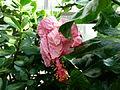 Hibiscus rosa-sinensis var. cooperi 2.JPG