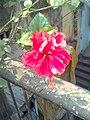 Hibiscus rosasinensis 2011-02.jpg