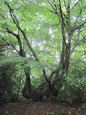 Barnet Gate Wood - Image: Hornbeam Barnet Gate Wood 3