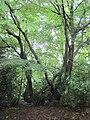 Hornbeam Barnet Gate Wood 3.JPG