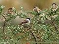 House Sparrow (Passer domesticus) (23591145846).jpg