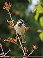 House Sparrow (Passer domesticus) (27099886282).jpg