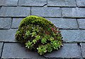 Houseleek on a roof - geograph.org.uk - 797959.jpg