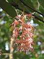Humboldtia brunonis - Brown's Humboldtia at Peravoor (8).jpg