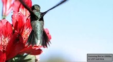 File:Hummingbird feeding closeup 2000fps.webm