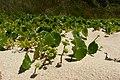 Hydrocotyle bonariensis (6820567777).jpg