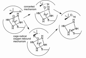 CYP3A4 - Two of the most commonly proposed mechanisms used for the hydroxylation of an sp3 C-H bond.
