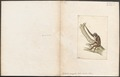 Hylobates variegatus - 1700-1880 - Print - Iconographia Zoologica - Special Collections University of Amsterdam - UBA01 IZ19800114.tif