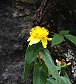 Hypericum frondosum.jpg