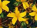 Hypericum perforatum Flowers Closeup DehesaBoyalPuertollano.jpg
