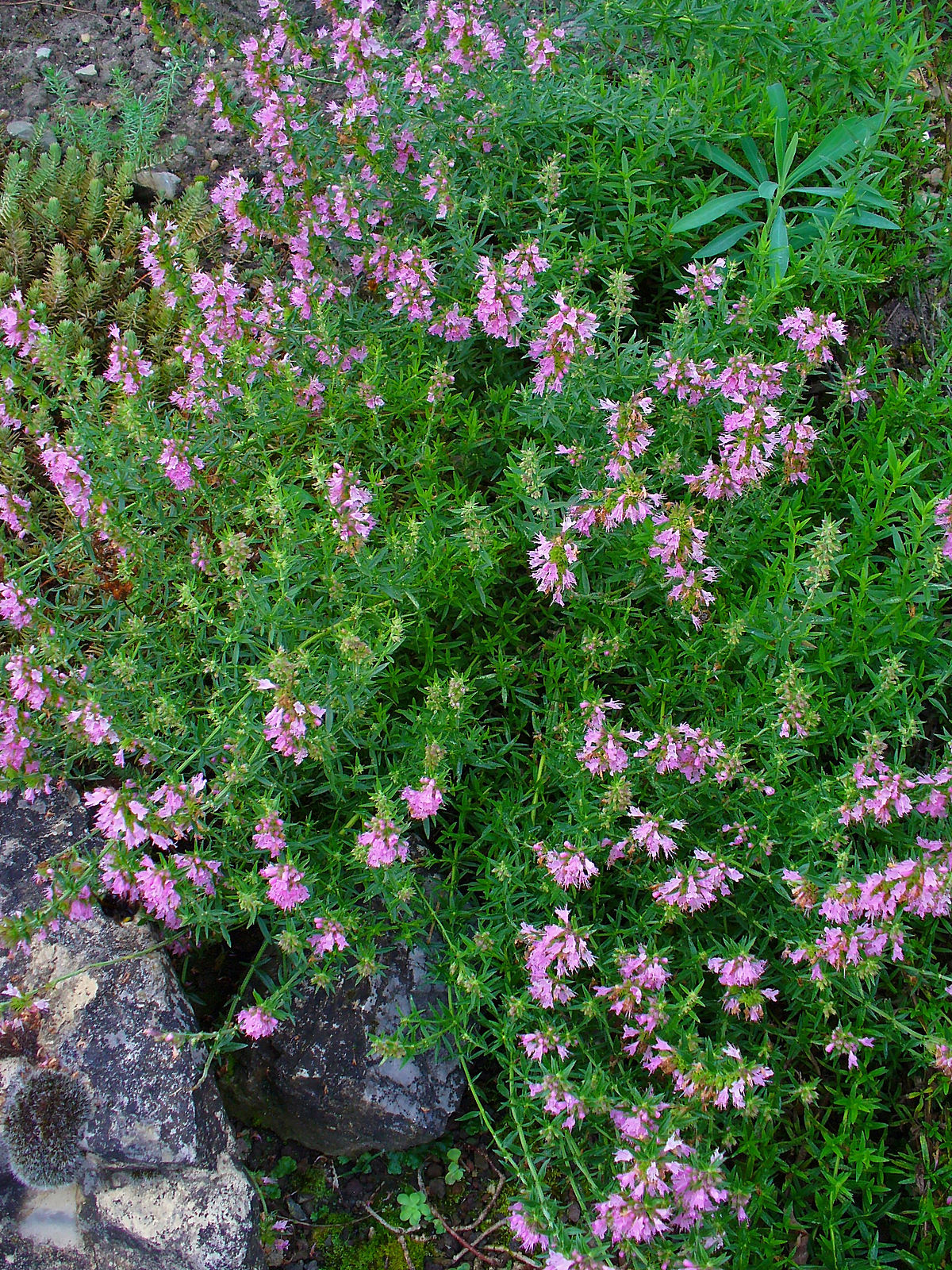 Hyssopus officinalis Wikipedia