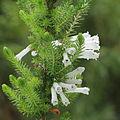 IMG 7179-Erica colorans 'White Delight'.JPG