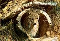 Iberian Lynx in den.jpg