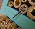 Ichneumon Wasp Ephialtes manifestator female parasitising solitary bee pupae (24079022328).jpg